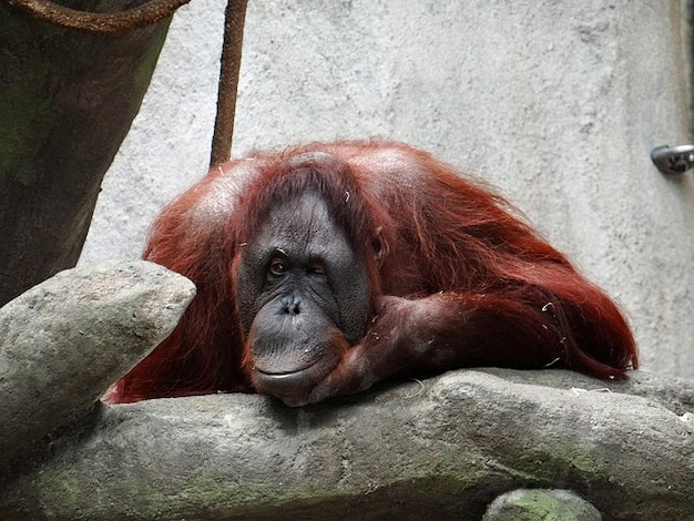Orang-utan-art zuzwinkern illinois tier zoo
