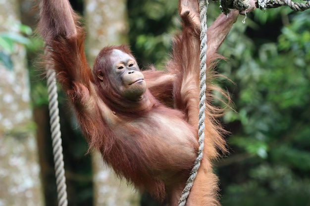 Orang-utan, der auf einer schaukel spielt und ein seil hält