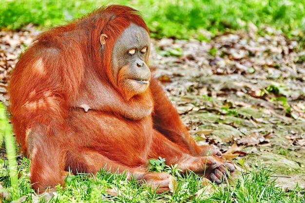 Orang utan in seinem natürlichen lebensraum in freier wildbahn.
