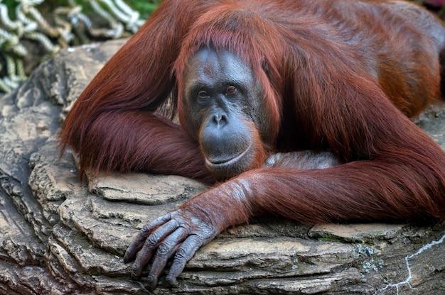Orang-utan oder pongo pygmaeus liegt auf einem stein