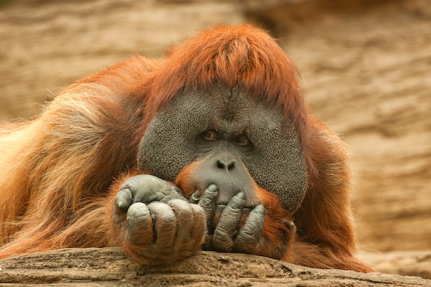 Orang-utan oder pongo pygmaeus