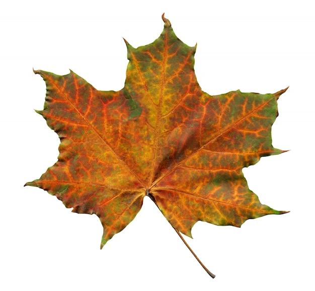 Orange ahornblatt mit den grünen streifen lokalisiert