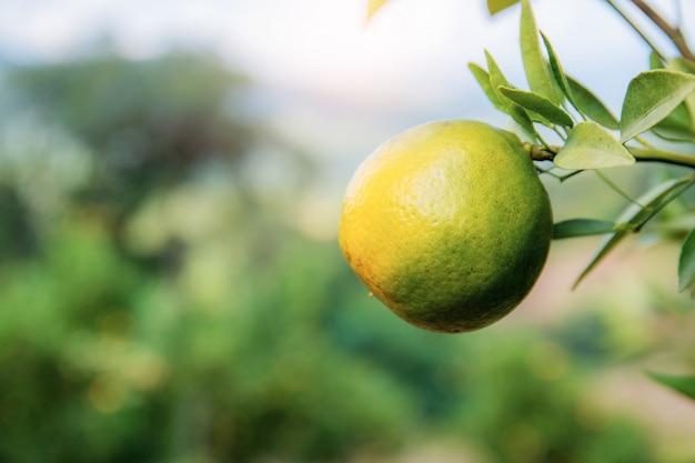 Orange auf baum mit natürlichem hintergrund.