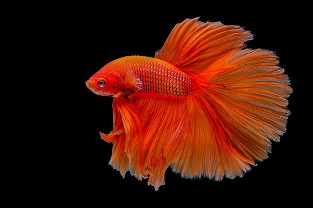 Orange betta fisch
