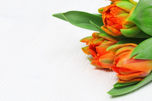 Orange blühende frische tulpennahaufnahme auf weißem holz