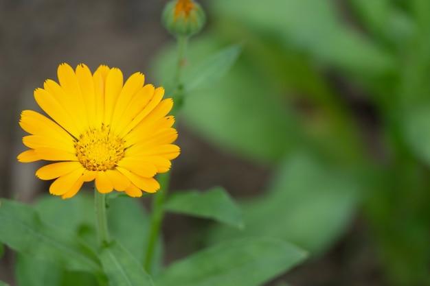 Orange blume, ringelblume, calendula officinalis hautnah. regentropfen in blütenblättern. ringelblume hintergrund. sie werden oft verwendet, um salaten farbe zu verleihen oder als beilage zu gerichten hinzugefügt. makrotröpfchen.