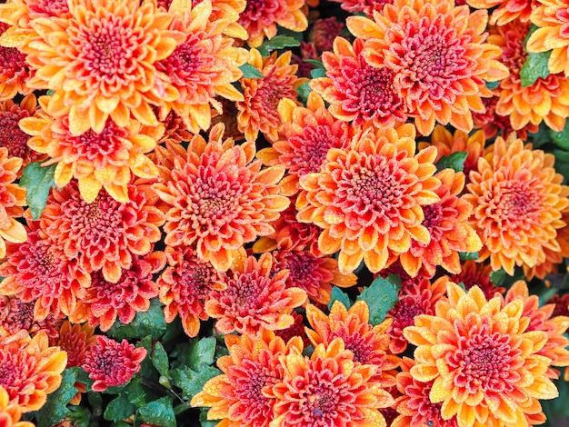 Orange chrysantheme blüht mit wassertropfen am gewächshaushof.