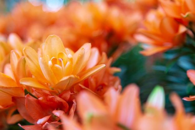 Orange chrysantheme im garten