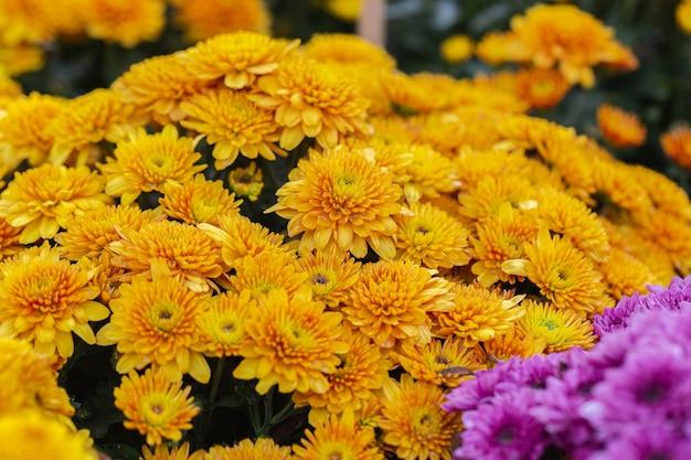 Orange chrysanthemen blühen im garten am frühlingstag
