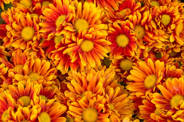 Orange chrysanthemen blumen hintergrund