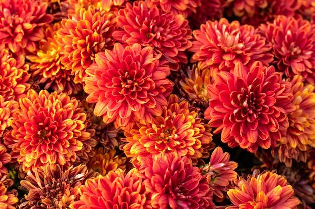 Orange chrysanthemenblüten. blumenmuster, hintergrund. blühende natur. herbstsaison.