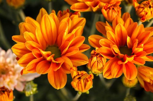 Orange chrysanthemenblume.