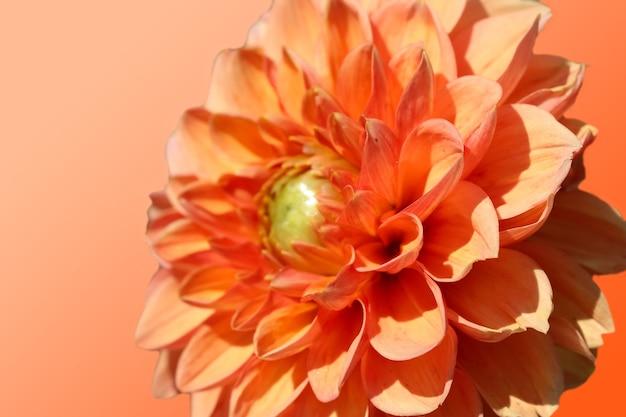 Orange dahlie auf orangem hintergrund isoliert