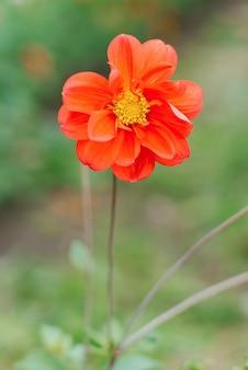 Orange dahlienblume im sommergarten