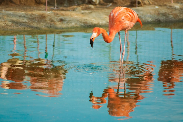Orange flamingo im hellblauen wasser. tierwelt tropischer exotischer vögel.