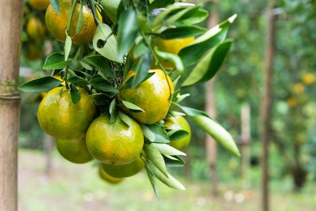 Orange früchte im landwirtschaftsgarten