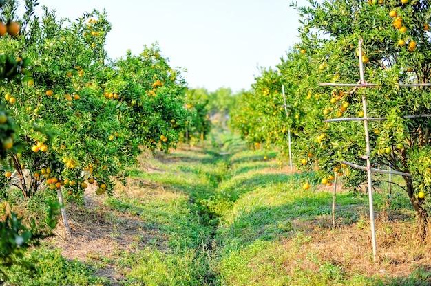 Orange garten mit vielen reifen obstgärten.