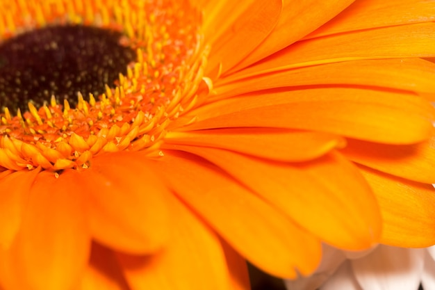 Orange gerbera makro