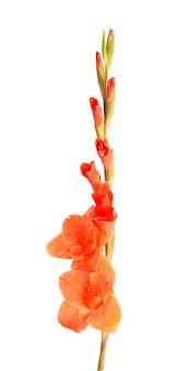 Orange gladiolenblüten isoliert auf weißem hintergrund. schöne sommerblumen.