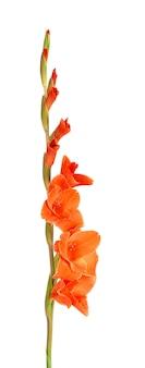 Orange gladiolenblüten isoliert auf weißem hintergrund schöne sommerblumen