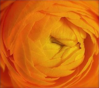 Orange hahnenfuß