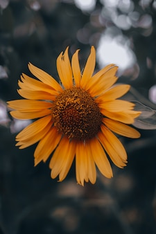 Orange herbstsonnenblume mit hellen blütenblättern auf unscharfem hintergrund. schönheit der natur