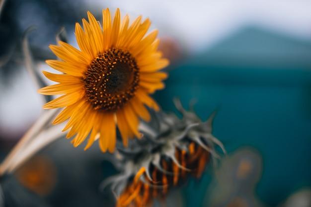 Orange herbstsonnenblume mit samen und hellen blütenblättern auf unscharfem hintergrund. schönheit der natur
