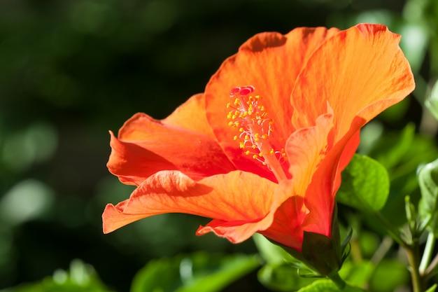 Orange hibiscusblume
