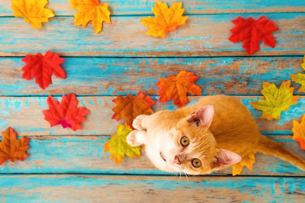Orange kätzchen schauen oben und sitzen auf ahornblättern im herbst
