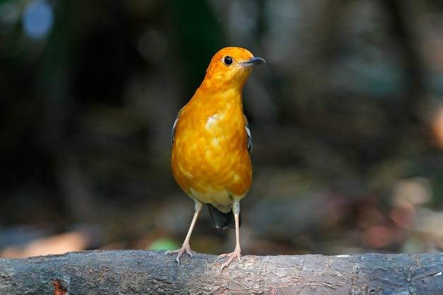 Orange-köpfige drossel zoothera citrina schöne vögel von thailand