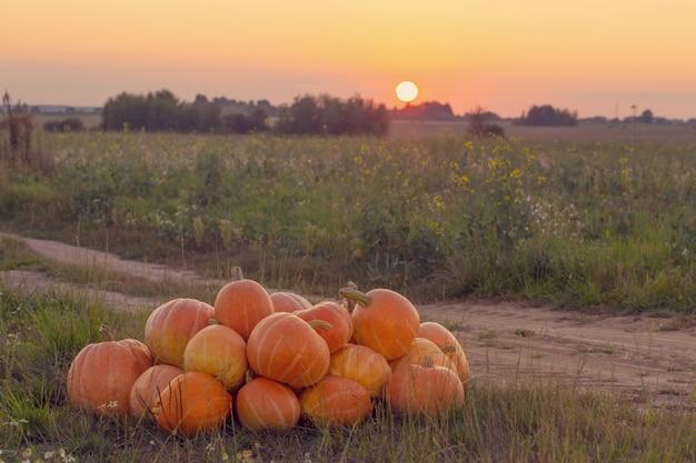 Orange kürbisse auf ländlichem feld bei sonnenuntergang