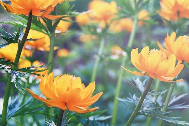 Orange kugelblumen blühen im frühlingswald