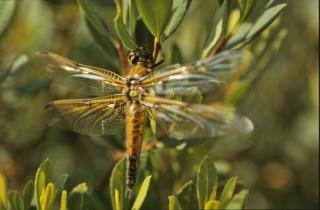 Orange libelle, insekt