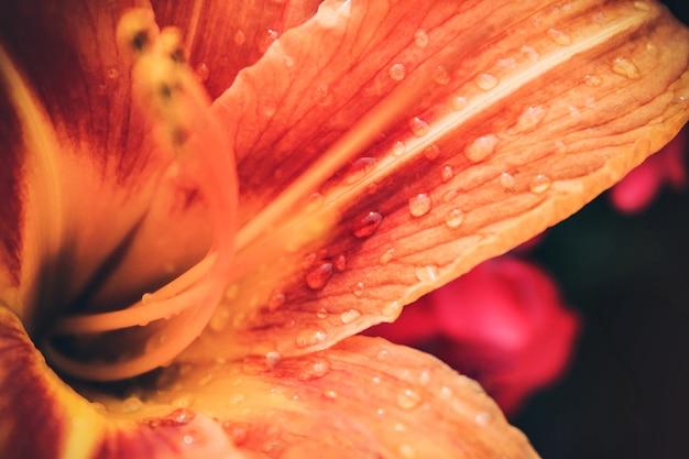 Orange lilienblume mit wassertröpfchen auf dunklem hintergrund. nahaufnahme. selektiver fokus.