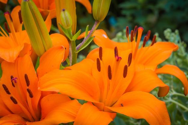 Orange lilienblumen