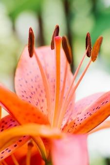 Orange lily staubblätter schließen mit selektivem fokus