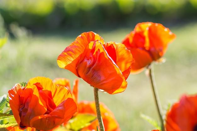 Orange mohnblumen, die im garten blühen