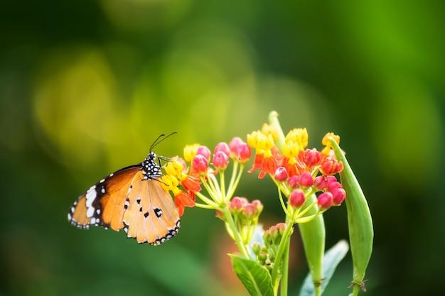Orange monarchfalter auf frühlingsblume
