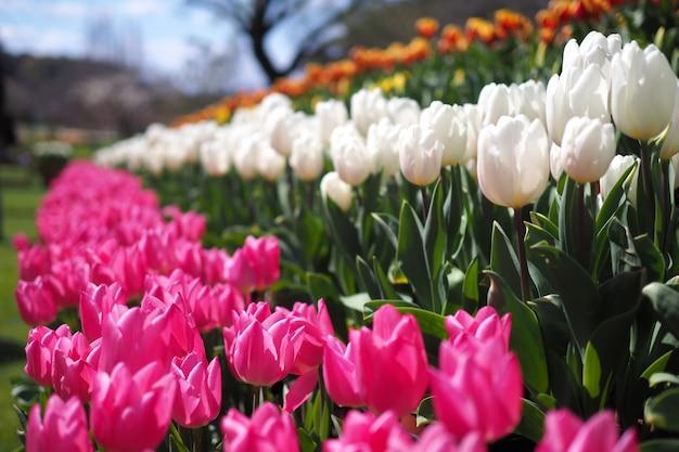 Orange, rosa, weiße und rote tulpen blühen im garten. helle farben an einem sonnigen tag während des frühlinges