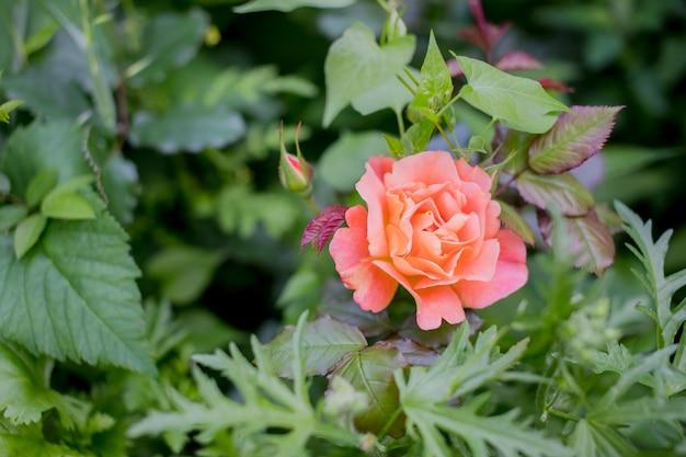 Orange rose und sonnenlicht. rose im herbstgarten am sonnigen tag schöner blumenabschluß oben raum für text. muttertagesgrußkarte