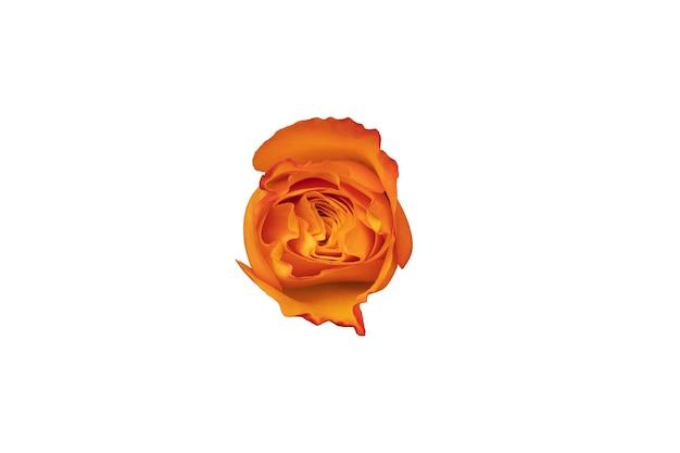 Orange rosenknospe isoliert auf weißem hintergrund. schöne blume für design. foto in hoher qualität