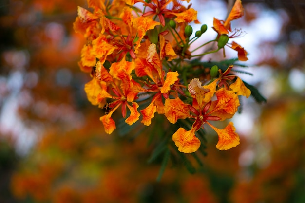 Orange royal poinciana im verwischten hintergrund