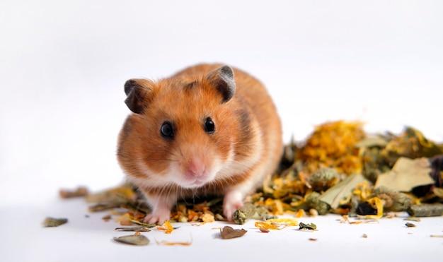Orange syrischer hamster, der auf essen sitzt und ernsthaft schwarzäugig aussieht