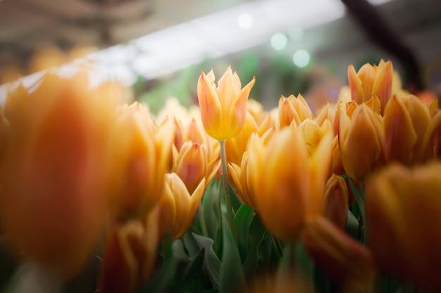 Orange tulpe im garten