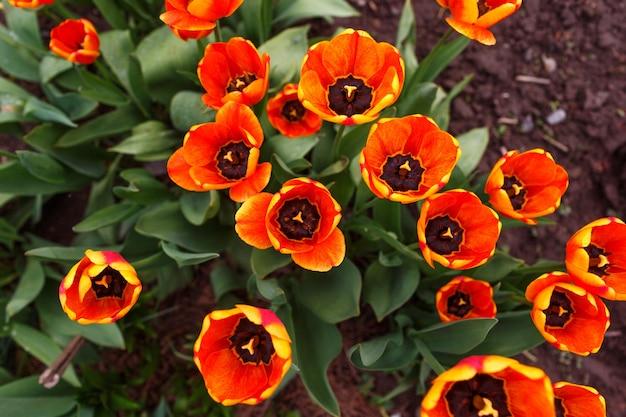 Orange tulpen in der gartenansicht.