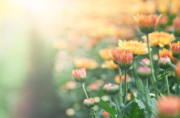 Orange und gelbe chrysanthemenblume im garten,