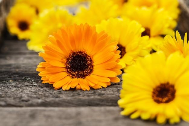 Orange und gelbe ringelblumenblüten (calendula officinalis)