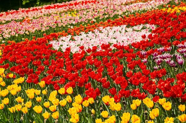 Orange und gelbes tulpenfeld