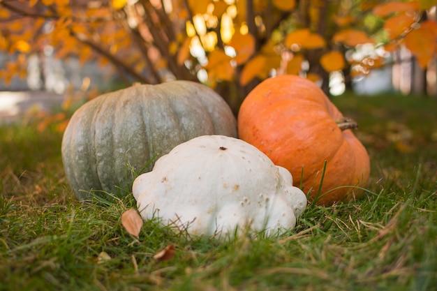 Orange und graue kürbise, weißer patison sammelten im herbstgarten.