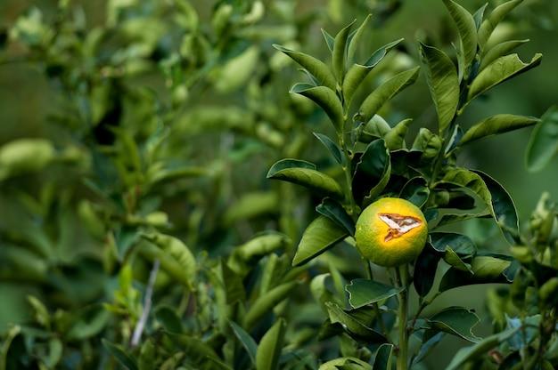 Orange und grüne mandarinen wachsen auf einem baum.